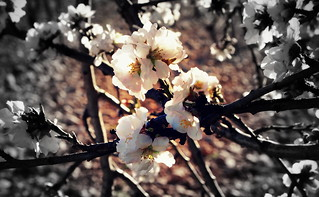 Spring's coming ... // Almond Blossoms