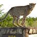 Small photo of Cheetah (Acinonyx jubatus) marking its territory