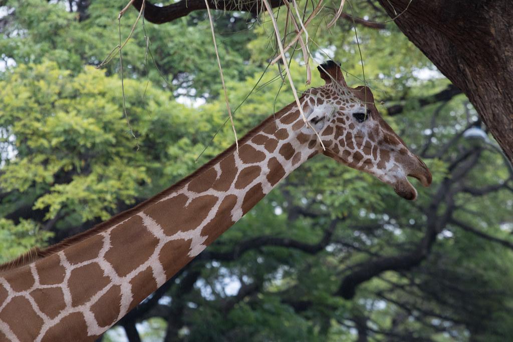 Hello Girafe