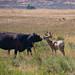"""Tom Cummings """"Cow-Deer"""""""