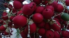 Miscigenação #coco #coconut #natureza #nature