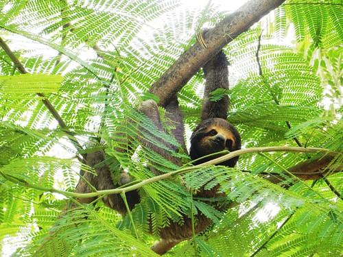 Sloth bear - Las Pampas - Bolivia