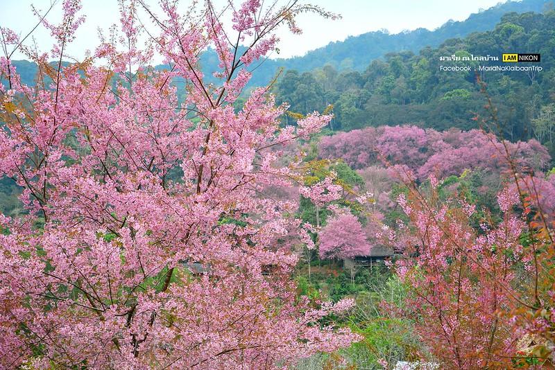 Chiang mai Angkhang sakura flowers