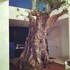 La típica planta de interior, un olivo de 3m.