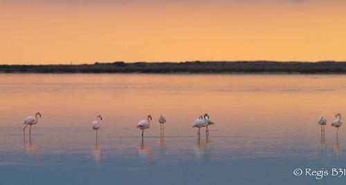 france bird sunrise ciel greaterflamingo phoenicopterusroseus oiseau gruissan ambiance languedocroussillon flamantrose phoenicoptéridés canon7d phoenicoptériformes