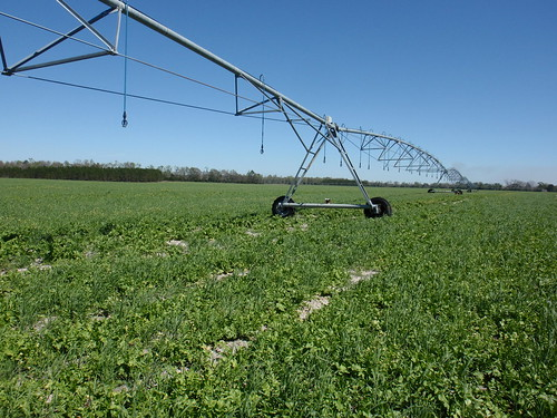 A center-pivot irrigation system uses low pressure-high uniformity to water a cover crop mix that includes Daikon Radish on Mitch Holtzclaw's farm in O'Brien, Fla. NRCS photo by Doug Ulmer.
