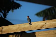 red bellied woodpecker #2