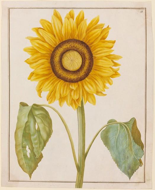 Flor Solis (Sonnenblume)