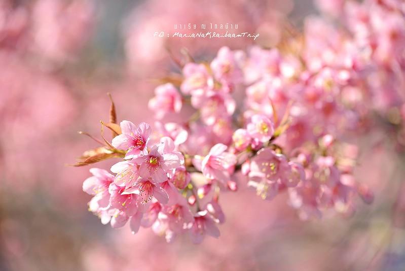 Chiang mai sakura Khunwang Doi Inthanon flowers