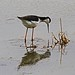 Black Neck Stilt - Ah Ha Gotcha