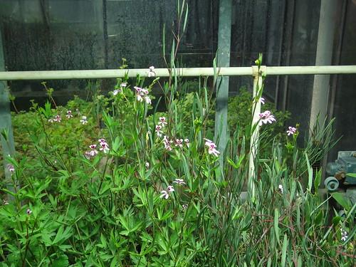 P. laevigatum subsp. diversifolium (right)