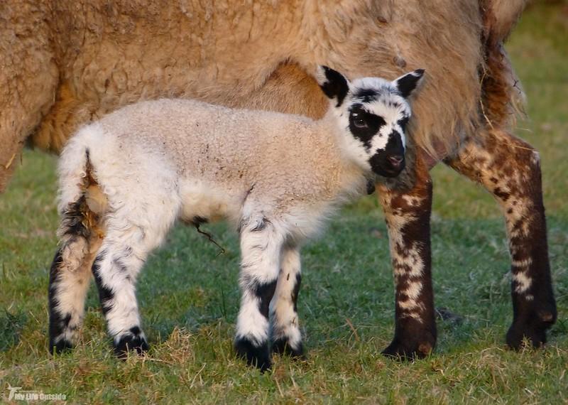P1110215 - Lamb