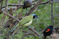 coraciiformes(0.0), animal(1.0), branch(1.0), fauna(1.0), finch(1.0), green jay(1.0), beak(1.0), bird(1.0), wildlife(1.0),