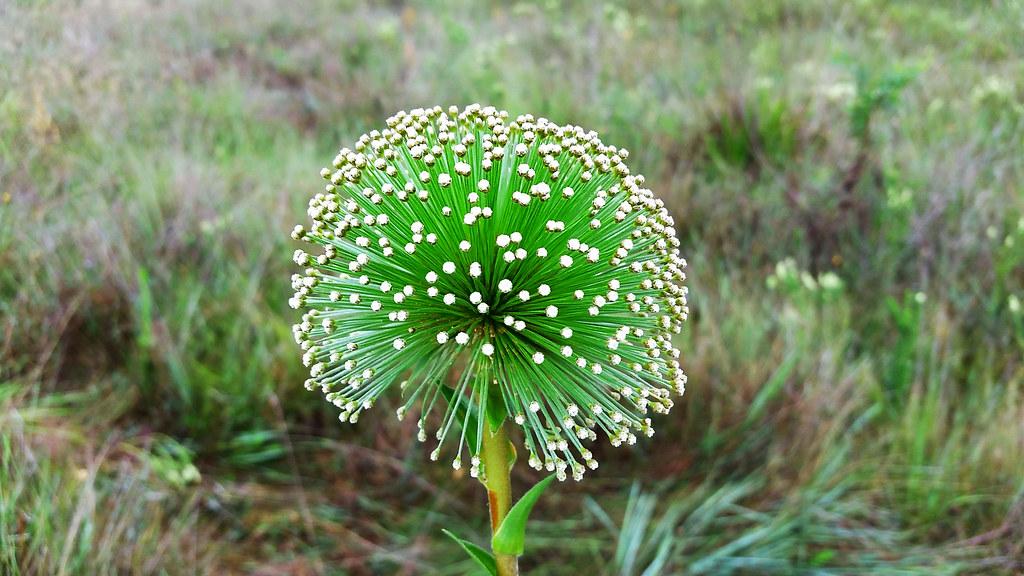 Chuveirinho, espécime da família das Sempre Vivas (planta que se encontra em ameaça de extinção).