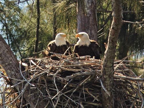 Bald Eagle male and female on nest 2-20150219