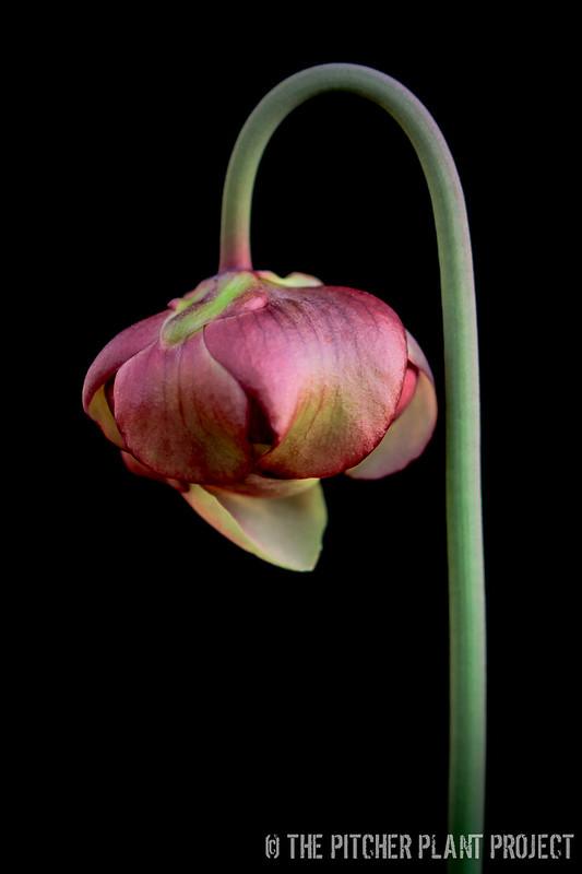 Sarracenia 'Adrian Slack'