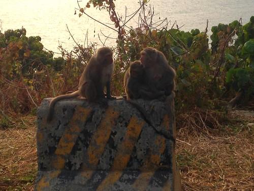 西子灣知名觀海點,獼猴也會隨著遊客聚集。