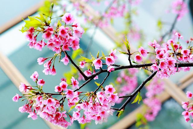 2015隨拍櫻花 (4)