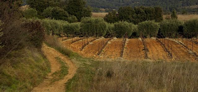 Vignes et oliviers