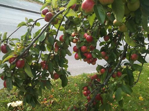 秋季的芬蘭,蘋果樹上總是結實纍纍