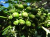 Fatsia Japonica berries