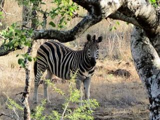 Plains Zebra, KwaZulu, Natal, South Africa