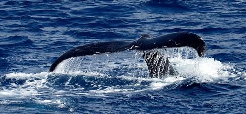 Humpback Whale, (Megaptera Novaeangliae) Fluke