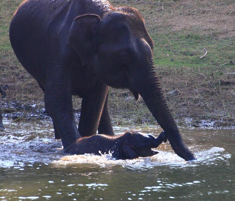 Elephant Kabini