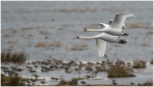 uk england bird swan norfolk muteswan welney wildfowlandwetlandstrust