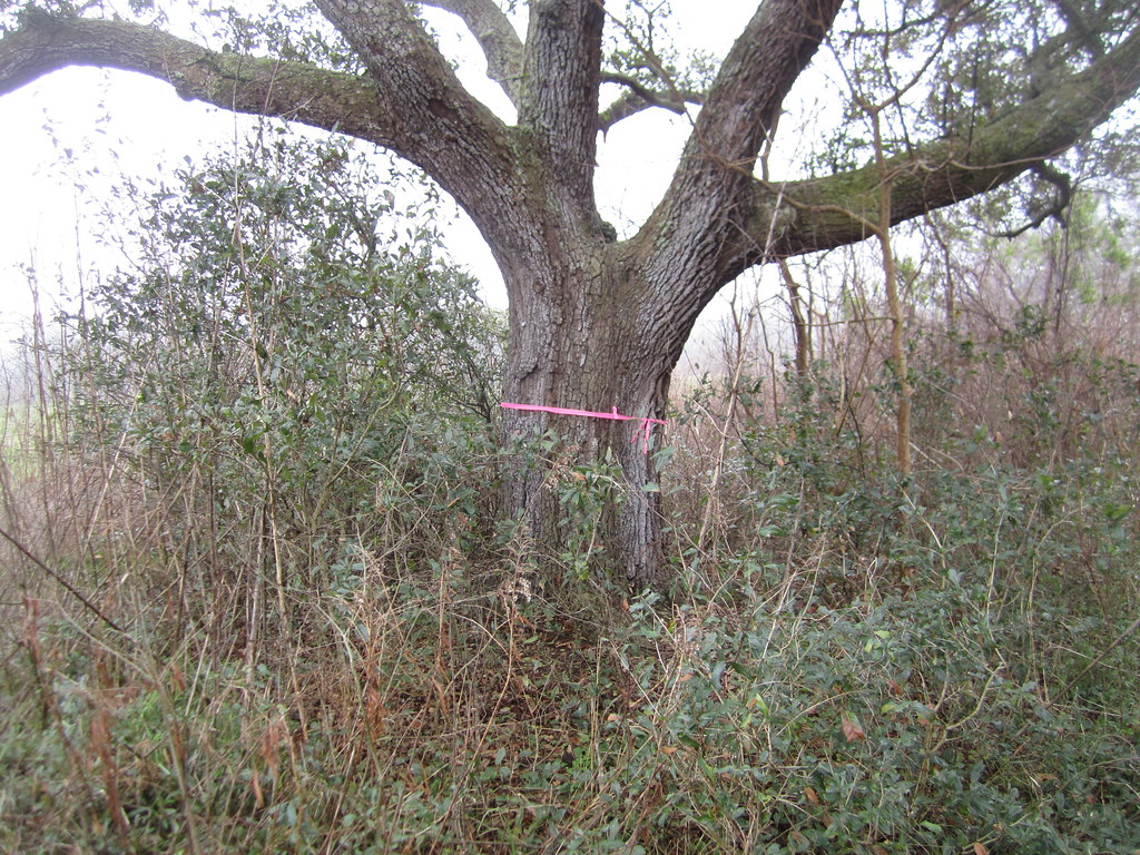 Oak Tree #1840 part of Couturie Forest cut for Hole #5