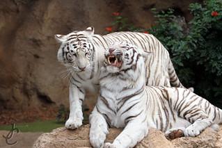Loro Parque: White Bengal Tiger