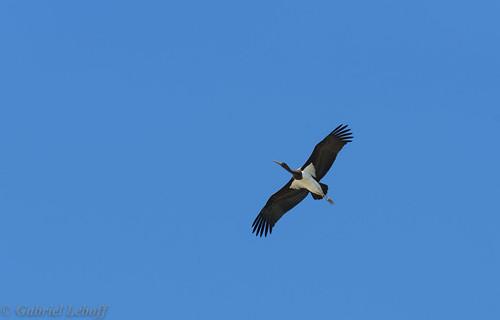 Cigogne noire-Ciconia nigra - Black Stork 2275.jpg