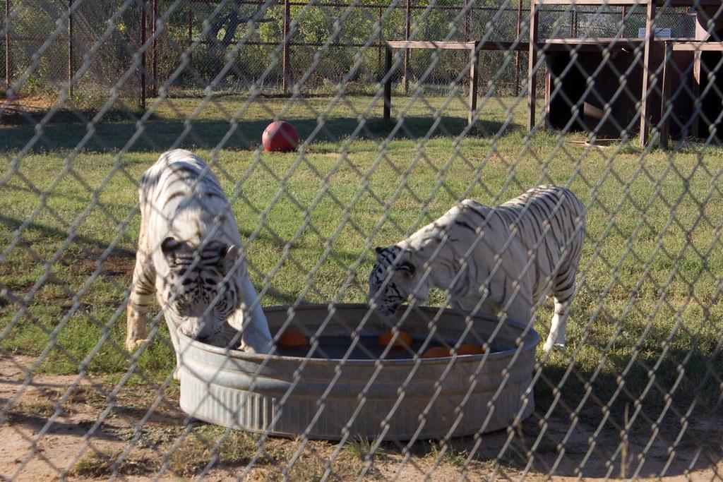 White Tigers bob