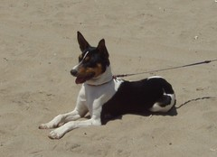 brazilian terrier(0.0), terrier(0.0), dog breed(1.0), animal(1.0), dog(1.0), pet(1.0), miniature fox terrier(1.0), toy fox terrier(1.0), carnivoran(1.0), basenji(1.0),