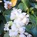 Small photo of Busy bee amid Jasmine