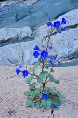 Desert Canterbury Bells (Phacelia campanularia), Mohave National Preseve