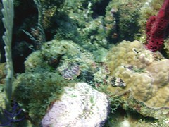 Spotted Scorpionfish (7)