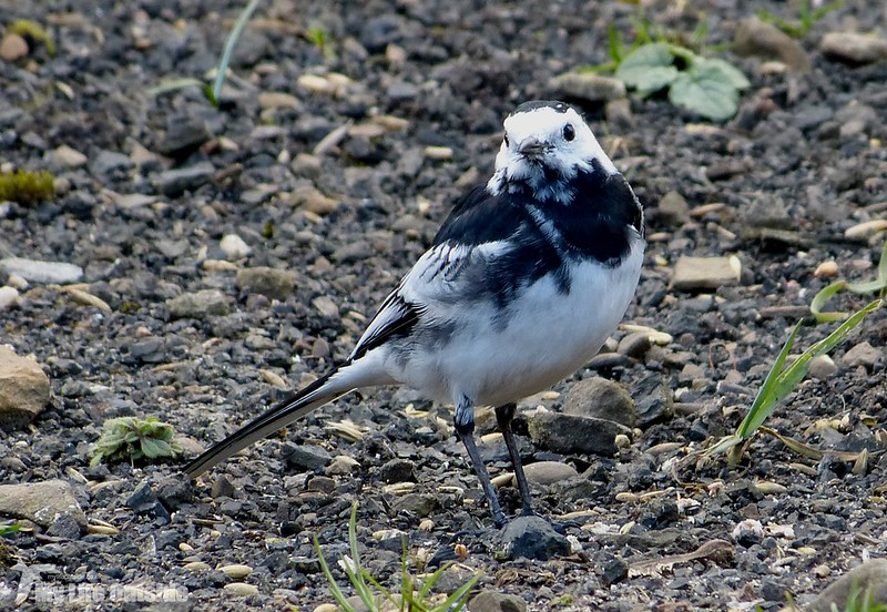 P1110208 - Pied Wagtail, Garden