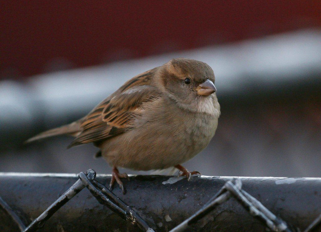 Christmas sparrow in Tompkins Square