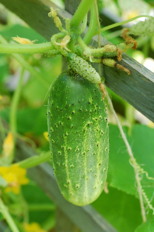 Cucumber on the vine by Eve Fox, the Garden of Eating copyright 2014