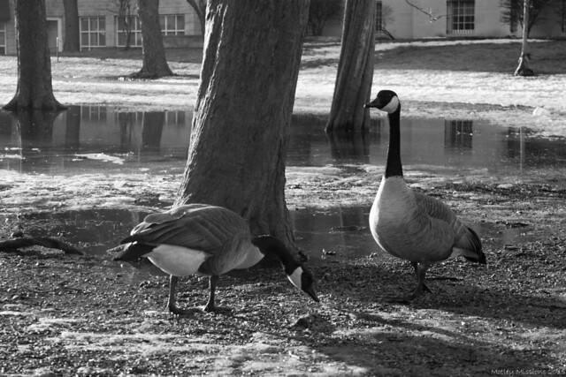 bw geese