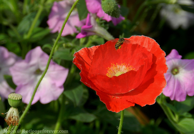bee on red poppy in the garden - Shibpur Botanical Garden #Kolkata