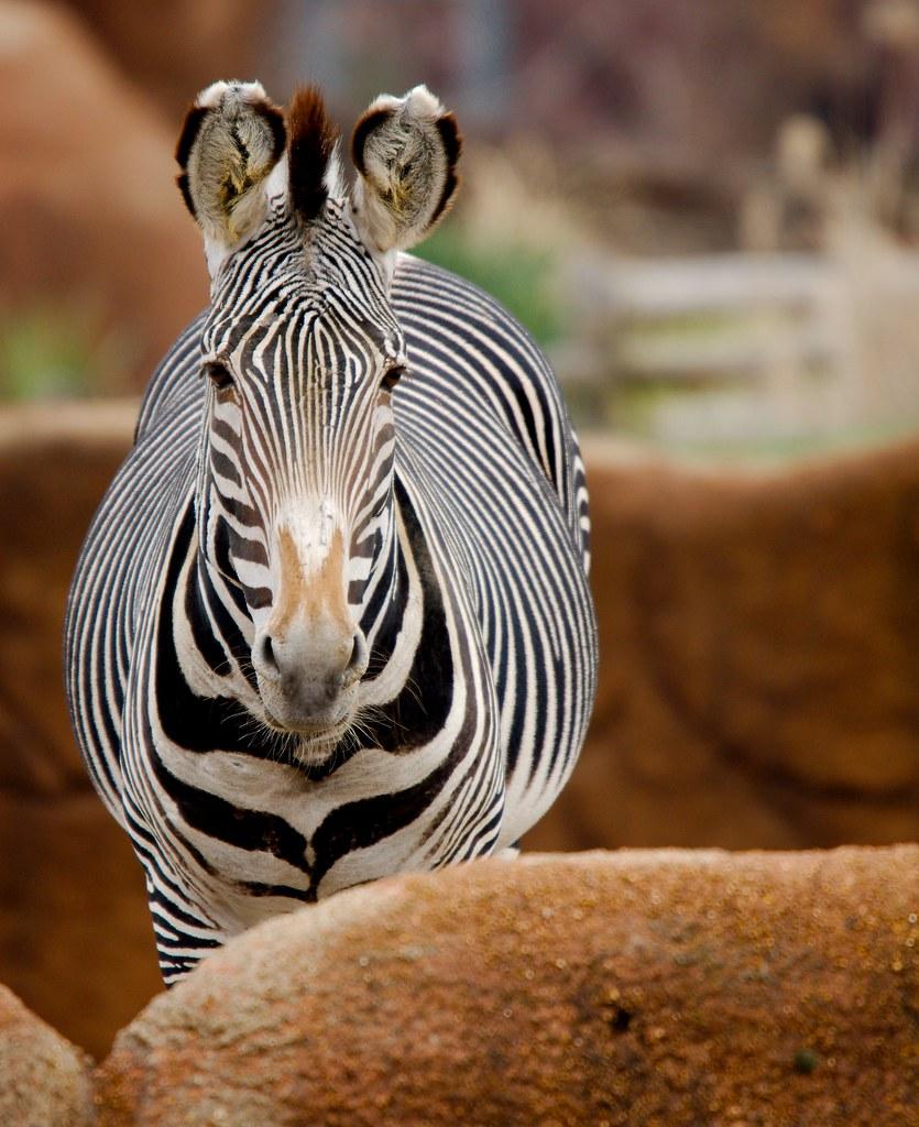 Grevy's Zebra (Equus grevyi)_2