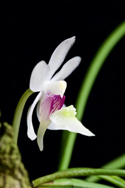 Holcoglossum nujiangense  16438258238_ed857d7f5d_z