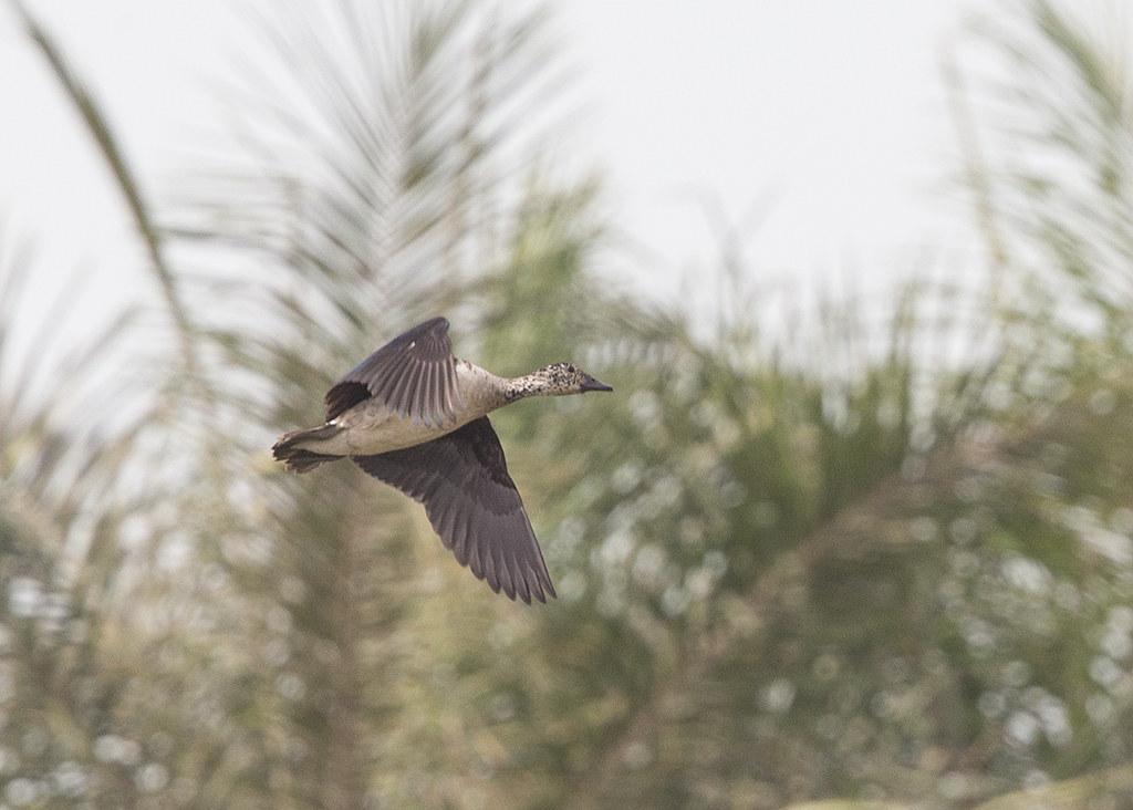 Comb Duck  Gambia