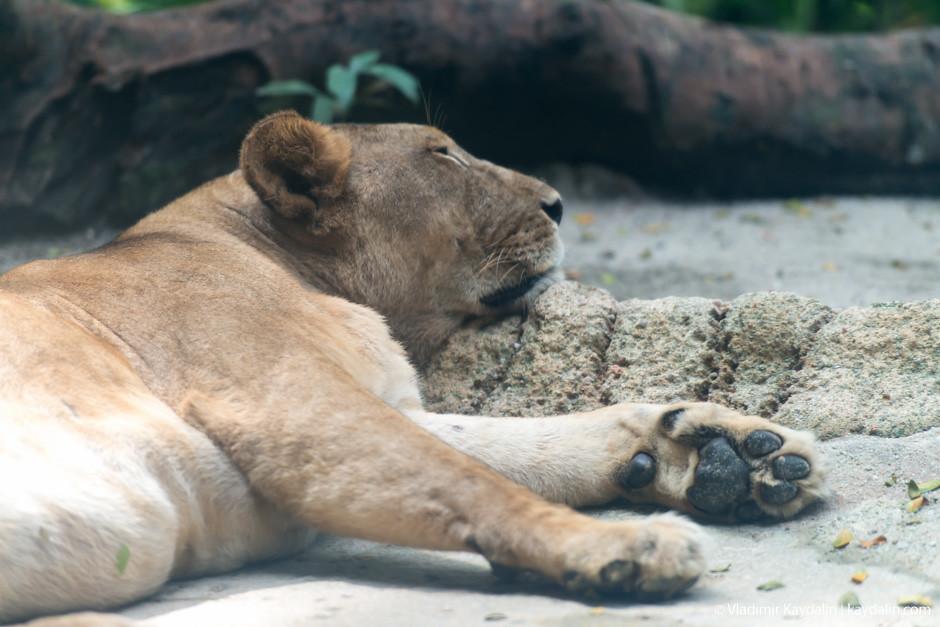Львицы в Сингапурском зоо парке
