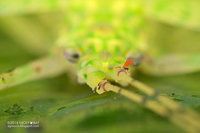 Katydid (Tettigoniidae) - DSC_2928