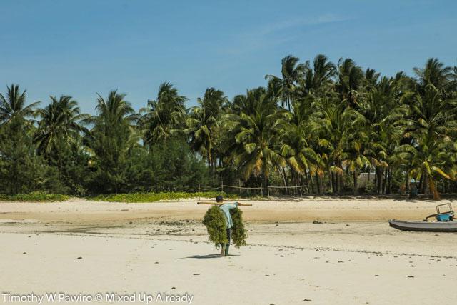 Indonesia - Sumba - Waingapu - Pantai Walakiri (Beach) - 10 - seaweed farmer