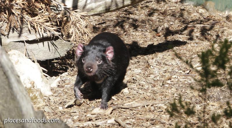 day 5 wildlife park tasmanian devil