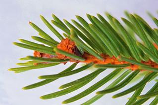 Spruce bud